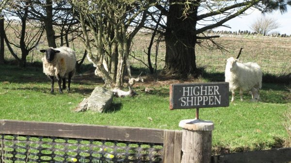 Worswell Barton B&B sheep at higer shippen.jpg